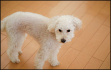 犬がフローリングで滑ると危険!滑り止め対策6つの方法とは