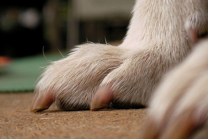 犬の前足の爪